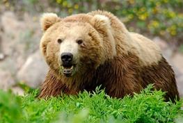 حمله خرس قهوه ای به نوجوان 15 ساله/ نوجوان بر اثر شدت جراحت درگذشت