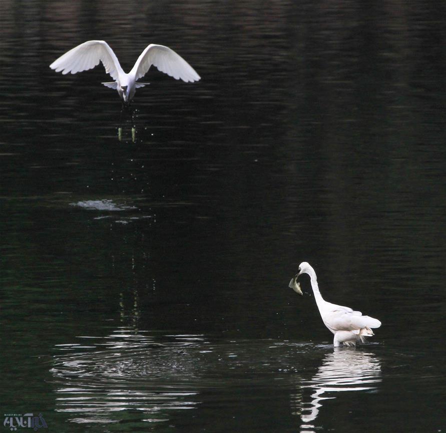 تصاویر | رقص مرغان ماهیخوار در رودخانه