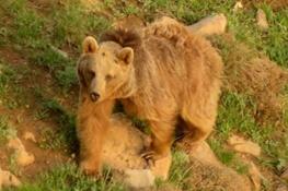 یک خرس قهوه ای در پادنای سمیرم با شلیک اسلحه شکاری کشته شد