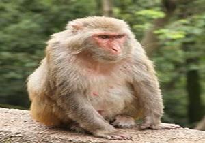 پرخاشگرترین میمون دنیا، با قاچاق به ایران آمده و در جنگلهای شمال است/ میمون رزوس مرگآفرین است