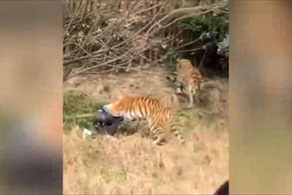 فیلم | کشته شدن یک فرد توسط ببر وحشی در حضور همسر و فرزندش