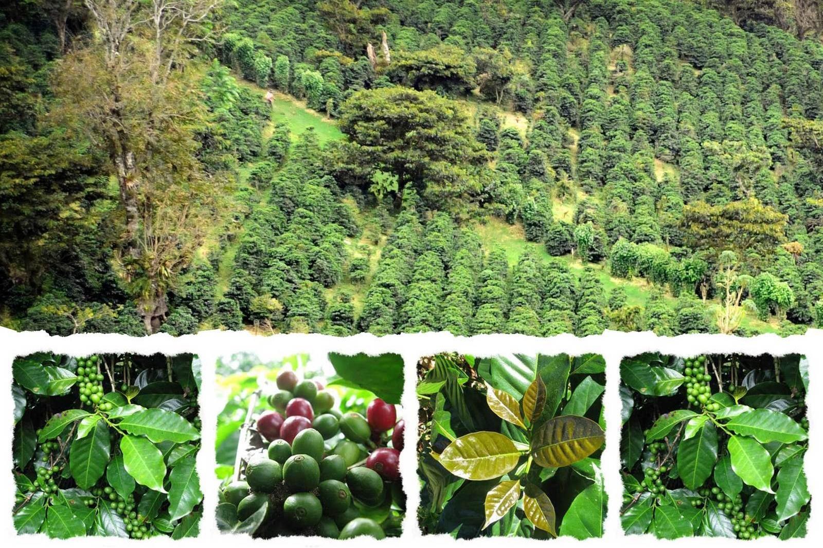 فیلم | مسیری که دانه قهوه از مزرعه تا فنجان طی میکند