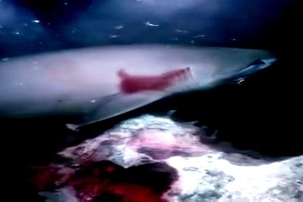 فیلم | حمله کوسه شش متری به زیردریایی