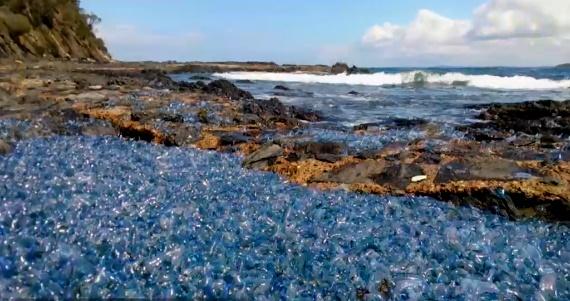 تصاویر | دورهمی عروسهای دریایی در کنار صخرههای استرالیا