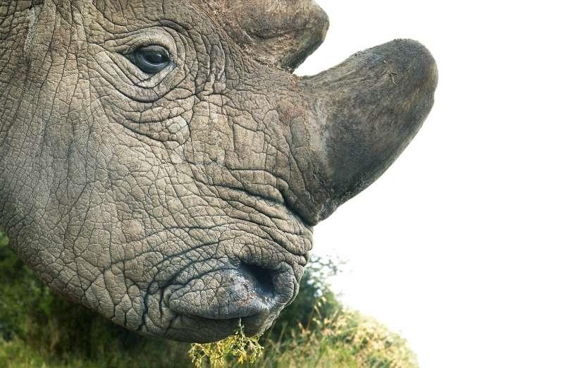 تصاویر | حیوانات در معرض انقراض | از پولکپوست تا میمون دماغسربالا