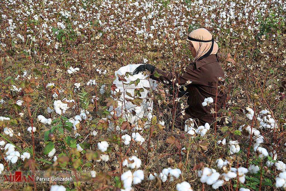 تصاویر   نرمترین کشت و زرع ایران اینجاست!