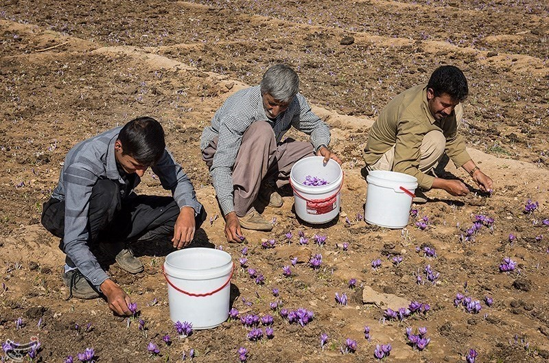 تصاویر   برداشت زعفران در خشکسالی فارس