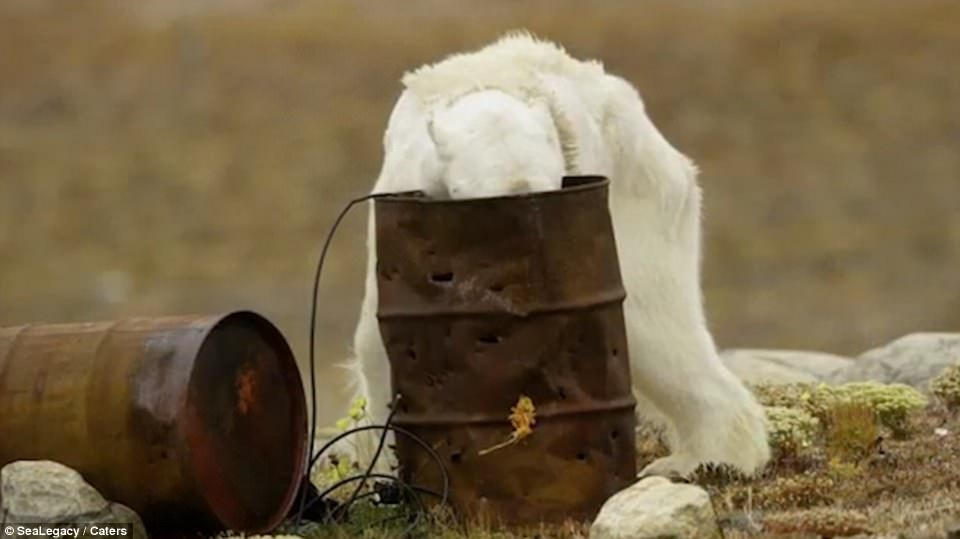 تصاویر خرس قطبی که جهان را شوکه کرد/ دستهای خونین گرمایش زمین
