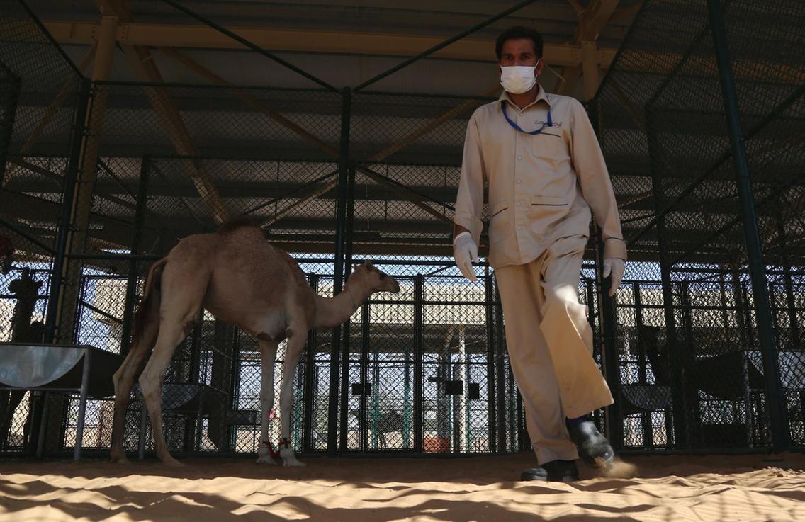 تصاویر   بیمارستان اختصاصی شترها در دبی