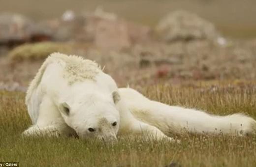 تصاویر خرس قطبی که جهان را شوکه کرد/دستهای خونین گرمایش زمین