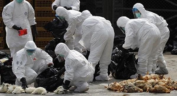 بحران آنفلوانزای مرغی مهار شد