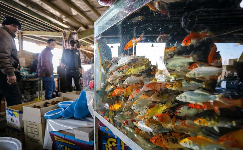 تصاویر | در حوالی نوروز | ماهیهای قرمز به استقبال سالنو آمدند