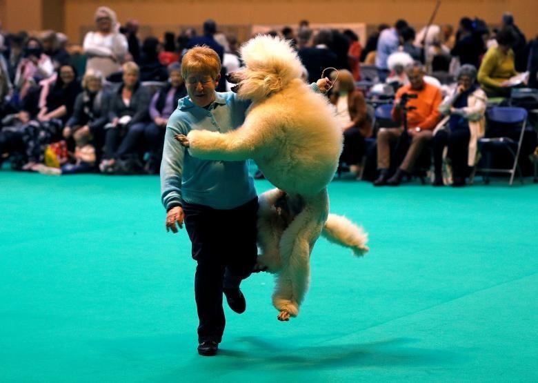 تصاویر   مسابقه سگهای برتر جهان در بریتانیا