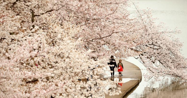 تصاویر | شکوفههای گیلاس در ینگه دنیا