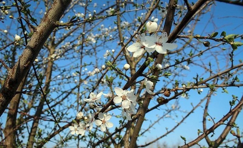 تصاویر | در حوالی نوروز | چشمتان به شکوفههای بهاری روشن