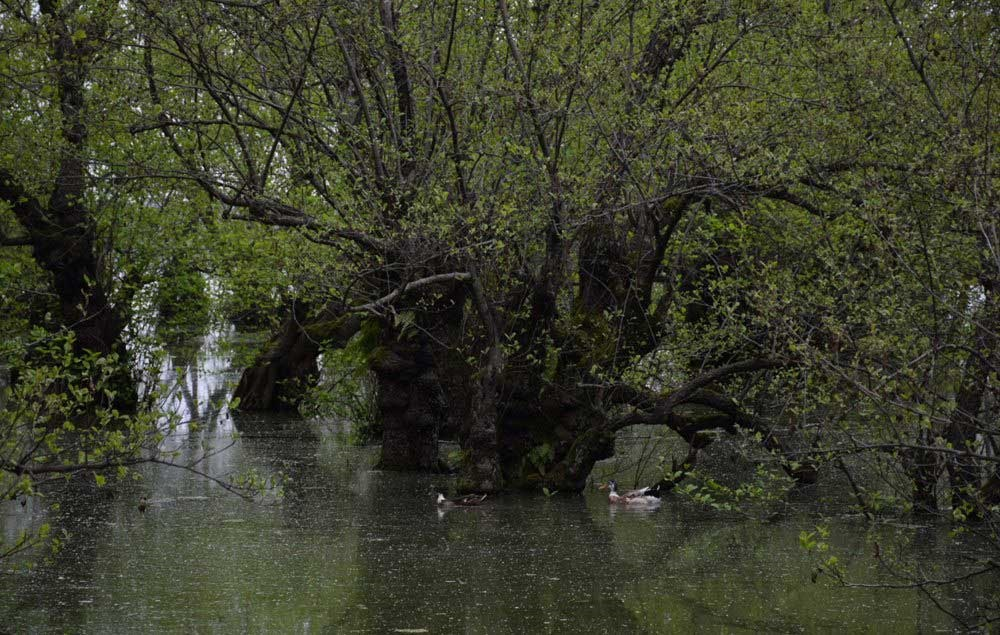 تصاویر |  تالاب درختان شناور اینجاست