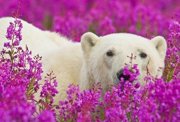 تصاویر | سرمستی خرسهای قطبی در بهار