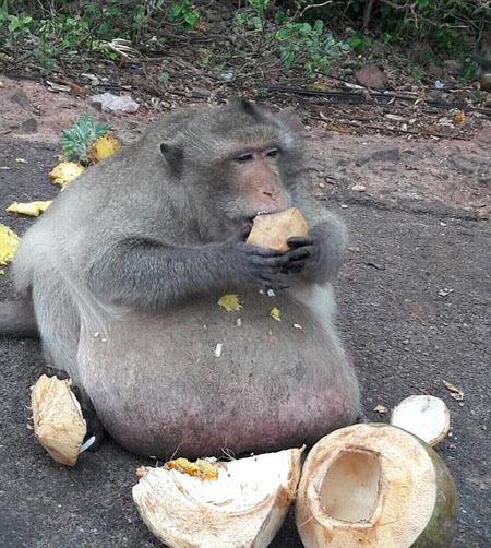 تصاویر | انتقال چاقترین میمون تایلند به کمپ لاغری!