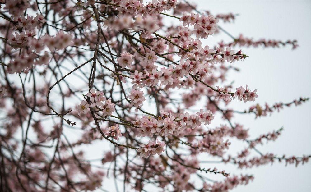 تصاویر   قزوین غرق در شکوفههای بهاری