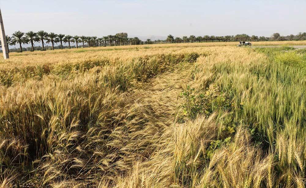 تصاویر   خسارت باد و باران به مزارع گندم هشتبندی