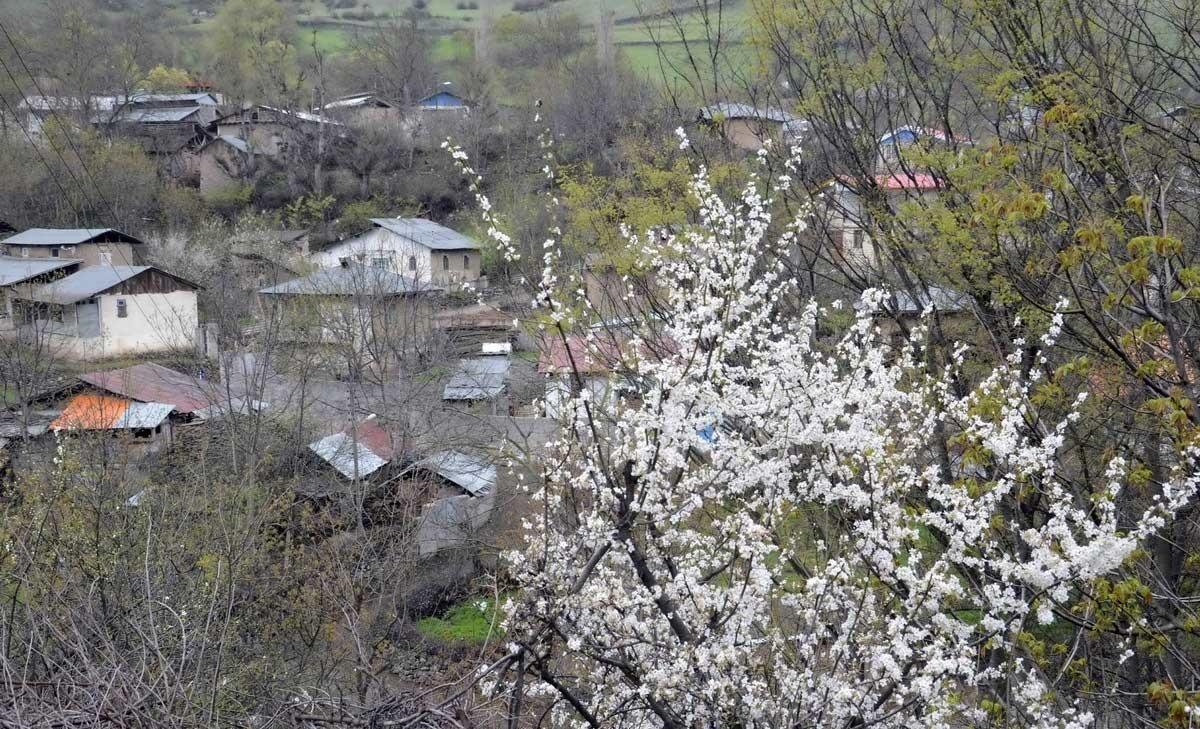 تصاویر | شهر باغهای زیتون، غرق در شکوفههای بهار
