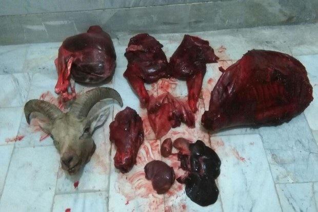 یک لاشه قوچ وحشی در منطقه تپال شاهرود کشف شد/ ۲نفر دستگیر شدند