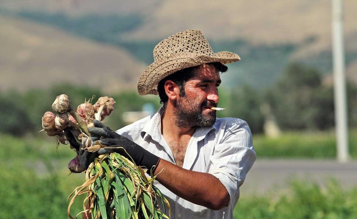تصاویر | مزرعههایی که «سیر» سفرههای شما را تامین میکنند!