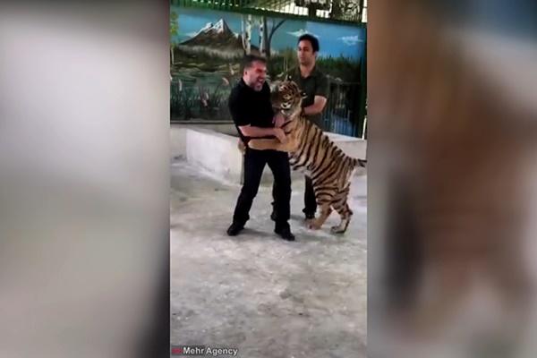فیلم   بازی سید جواد هاشمی با یک ببر در باغ وحش مشهد