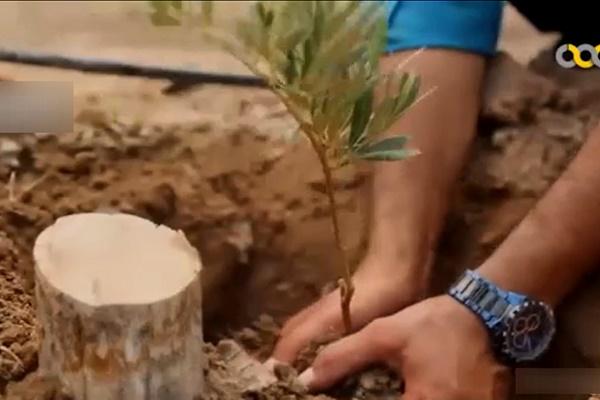 فیلم | کشاورز نمونه کرمانی که پسته را فدای زیتون کرد