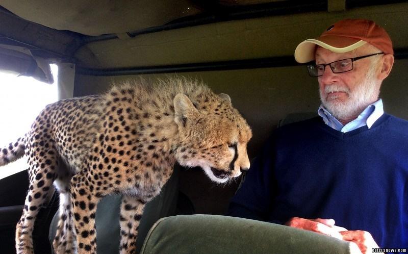 تصاویر | وقتی یوزپلنگهای معاشرتی گردشگران را غافلگیر میکنند!