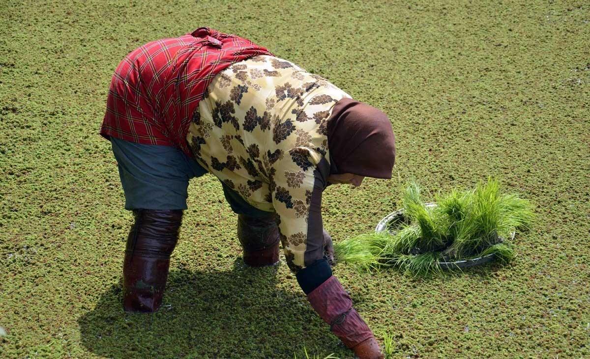 نشاکاری-برنج-در-شالیزارهای-شهرستان-لنگرود-تصاویر