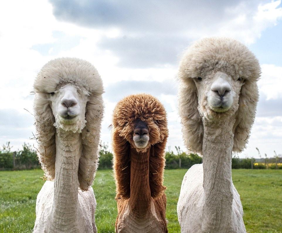 تصاویر | آرایش عجیب شترها در جشنواره «گلاسترشر» انگلیس