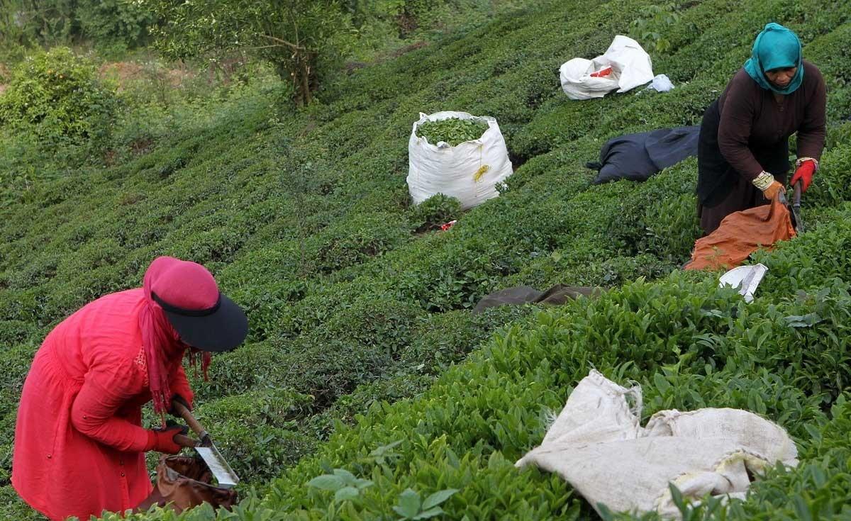 تصاویر | از مزرعههای سبز تا فنجانهای معطر چای