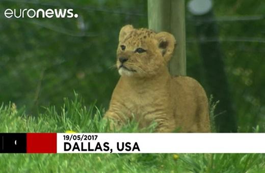 فیلم | تولد یک توله شیر خاص در باغ وحش تگزاس