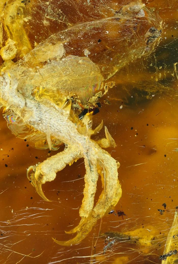تصاویر | کشف بقایای جوجه ۹۹ میلیون ساله داخل سنگ کهربای قدیمی