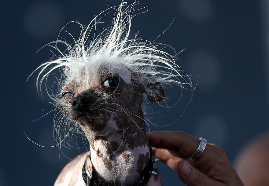 تصاویر | رقابت دیدنی برای انتخاب زشتترین سگ دنیا!
