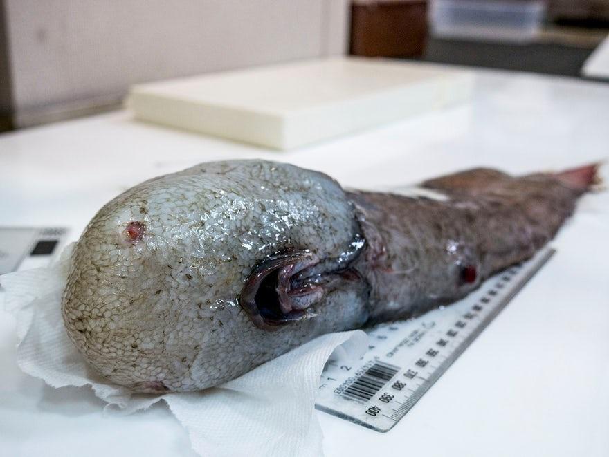 موجود عجیب ماهی عجیب عکس حیوانات حیوانات عجیب دنیا جانوران دریایی عجیب