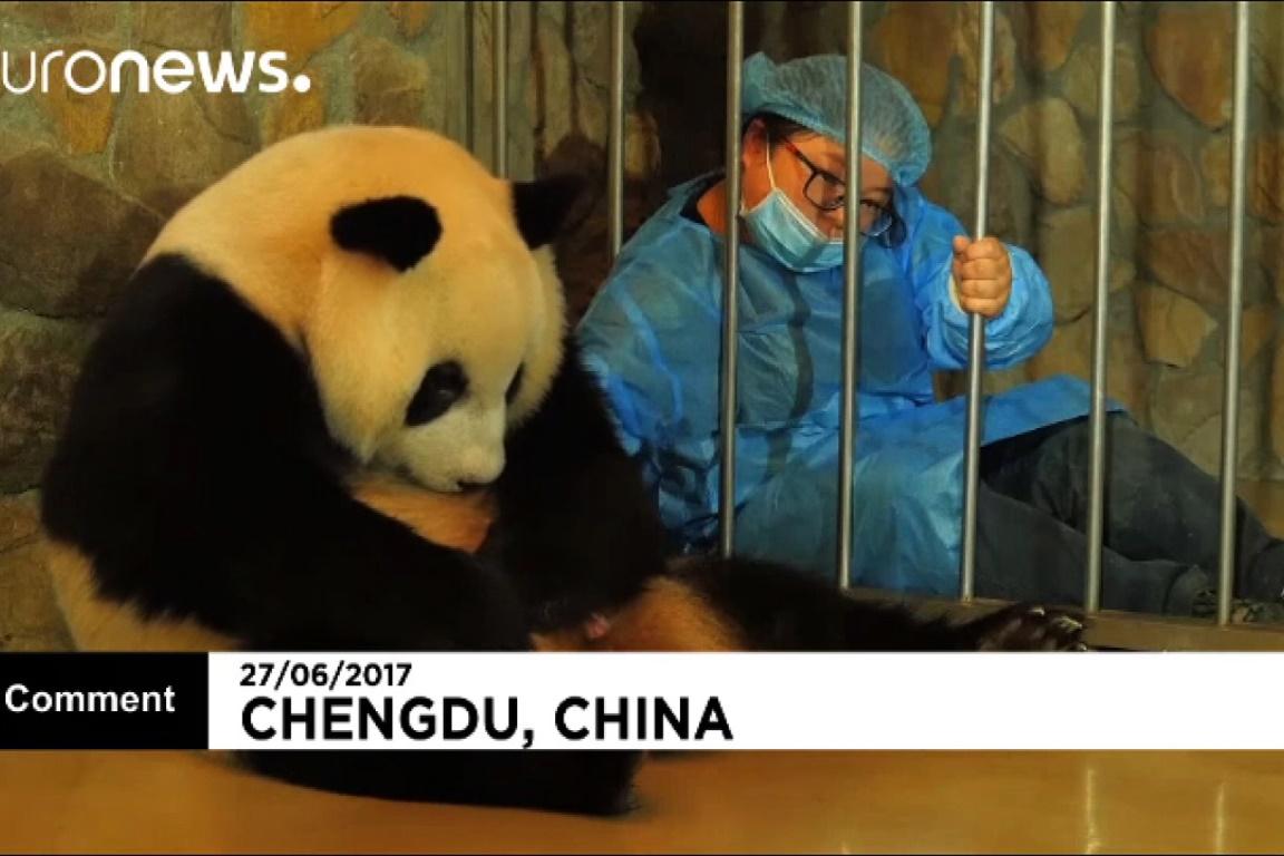 فیلم | لحظات زیبا از تولد پانداهای دوقلو در چین