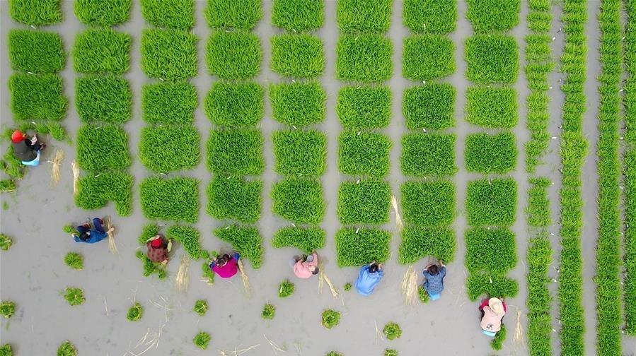تصاویر | مزرعه زیبای شالیکاران چینی
