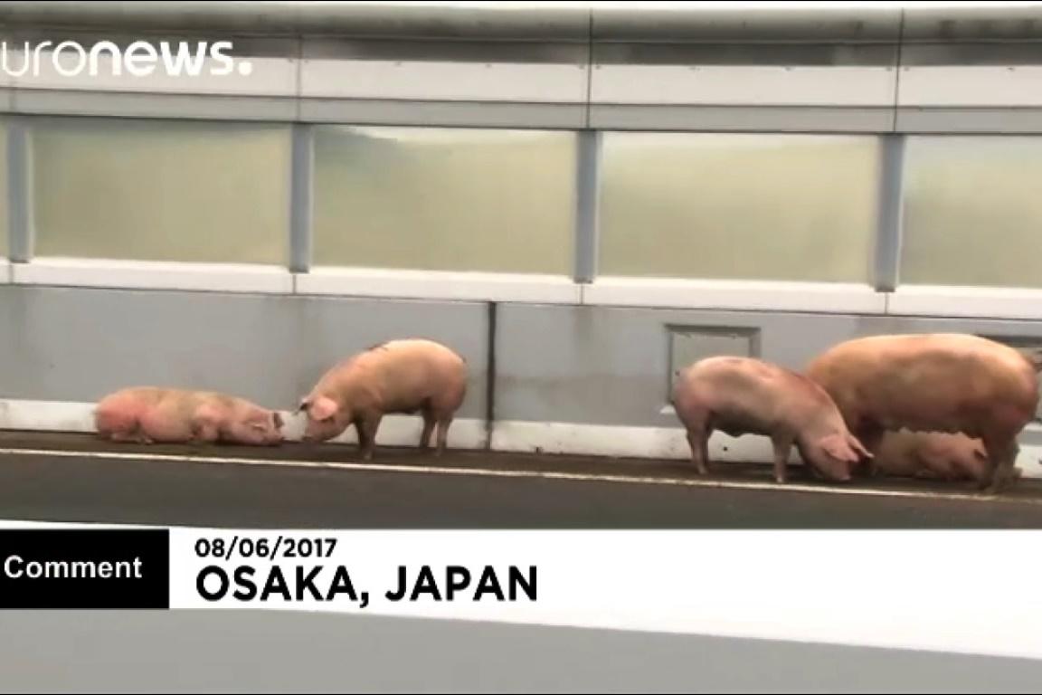 فیلم | فرار خوکها پلیس ژاپن را به دردسر انداخت!