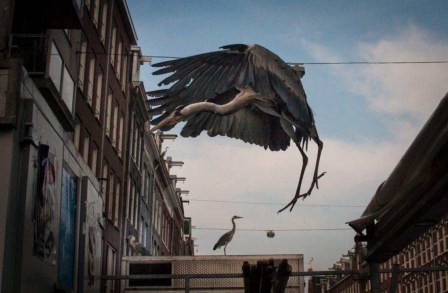 تصاویر | زندگی مسالمتآمیز لکلکها با شهروندان آمستردام
