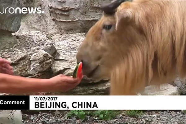 فیلم | هندوانه خنک برای حیوانات باغ وحش در گرمای تابستان