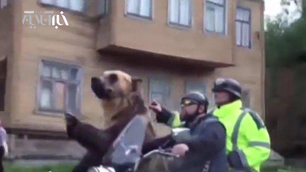 فیلم | لحظه موتورسواری خرس وحشی