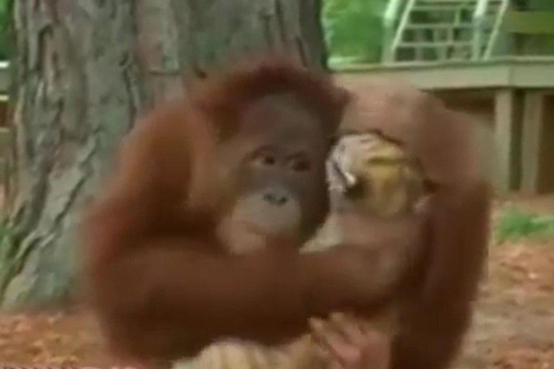 فیلم | رفاقت شگفتانگیز یک میمون با چند ببر
