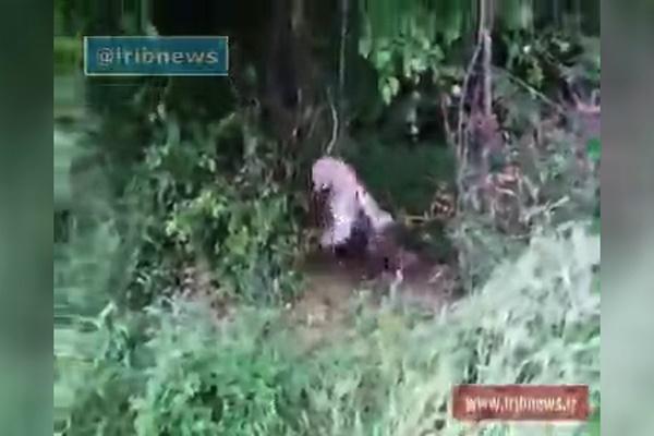 فیلم | یوزپلنگ به جای گراز در تله کشاورزان ساروی!