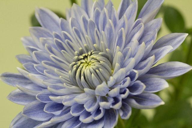 گل نادری که با روش ویژه محققان رشد کرد/ ویرایش ژنتیکی برای داوودی آبی!