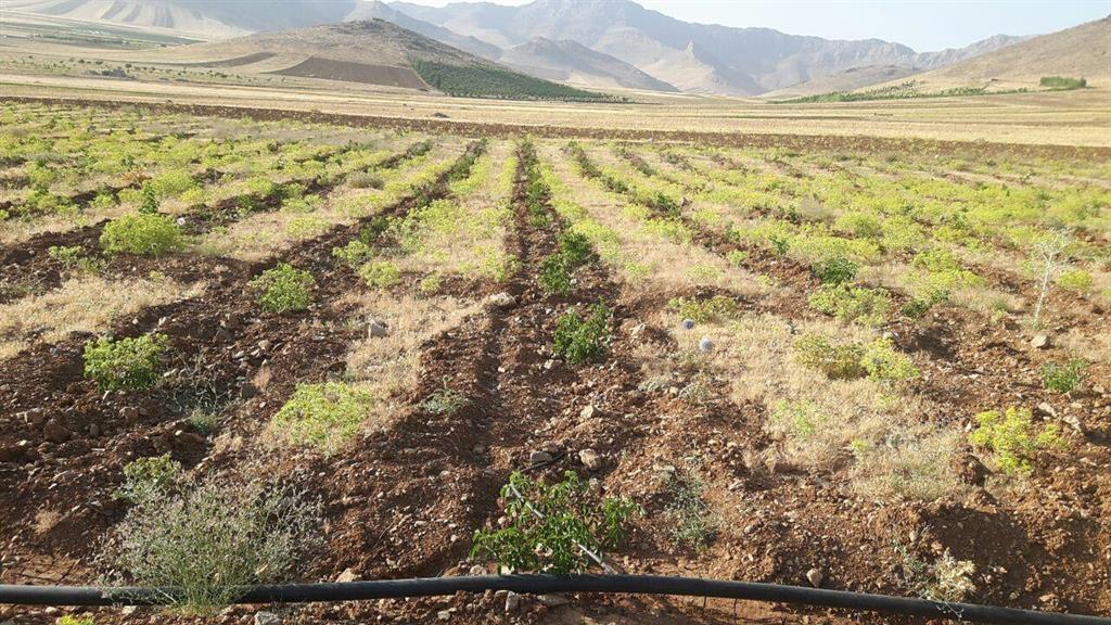 کاشت گل محمدی در 10 هکتار از اراضی ملی شهرستان دلفان