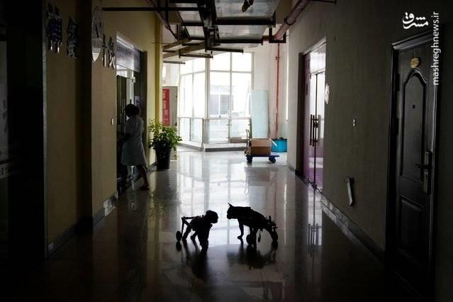 تصاویر   درمان حیوانات با طب سوزنی