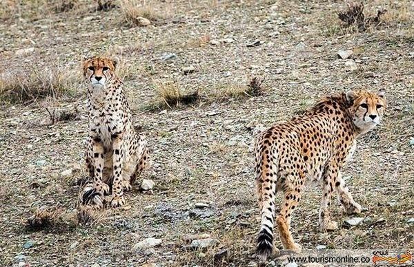 دلبر، کوشکی و معمای لقاح مصنوعی البته اینبار برای یوزپلنگهای ایرانی نازا!