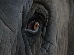 نگاه نافذ یک فیل